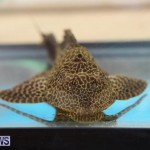 Bermuda Fry-Angle Aquarium Society Fish Show, October 10 2015-33