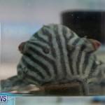 Bermuda Fry-Angle Aquarium Society Fish Show, October 10 2015-47