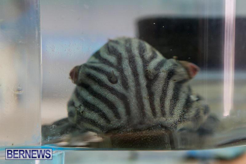 Bermuda-Fry-Angle-Aquarium-Society-Fish-Show-October-10-2015-47