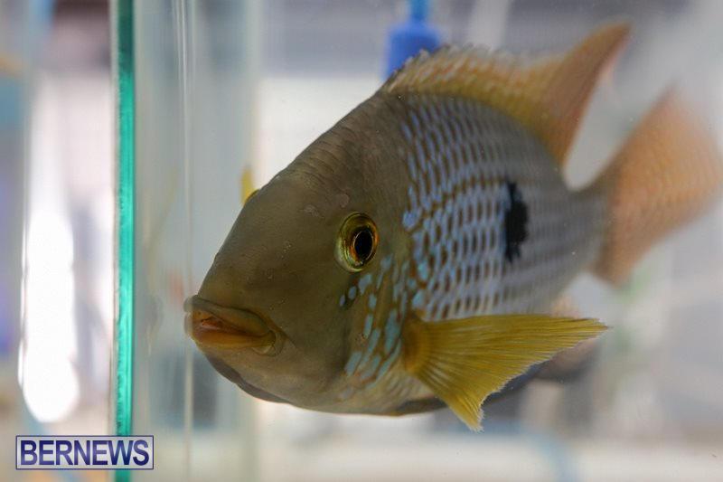 Bermuda-Fry-Angle-Aquarium-Society-Fish-Show-October-10-2015-48