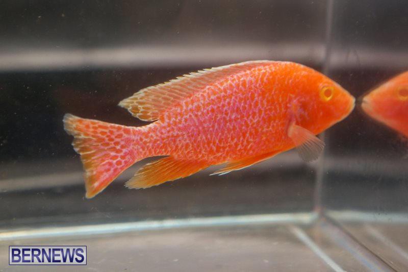 Bermuda-Fry-Angle-Aquarium-Society-Fish-Show-October-10-2015-49