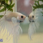 Bermuda Fry-Angle Aquarium Society Fish Show, October 10 2015-5