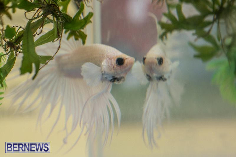 Bermuda-Fry-Angle-Aquarium-Society-Fish-Show-October-10-2015-5