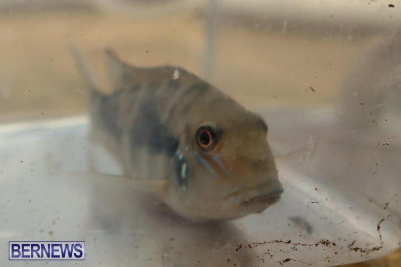 Bermuda-Fry-Angle-Aquarium-Society-Fish-Show-October-10-2015-52