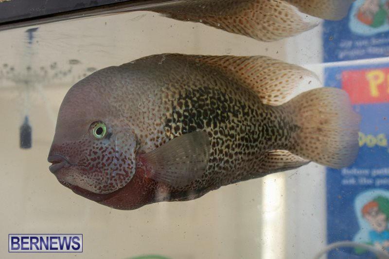 Bermuda-Fry-Angle-Aquarium-Society-Fish-Show-October-10-2015-54