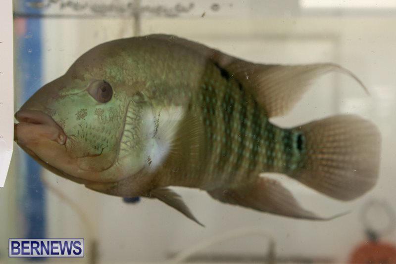 Bermuda-Fry-Angle-Aquarium-Society-Fish-Show-October-10-2015-55