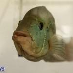 Bermuda Fry-Angle Aquarium Society Fish Show, October 10 2015-56