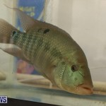 Bermuda Fry-Angle Aquarium Society Fish Show, October 10 2015-59