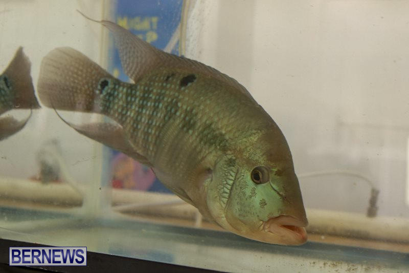 Bermuda-Fry-Angle-Aquarium-Society-Fish-Show-October-10-2015-59