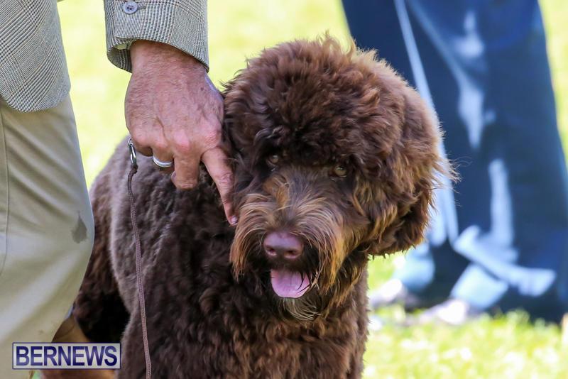 Dog-Show-Bermuda-October-24-2015-13