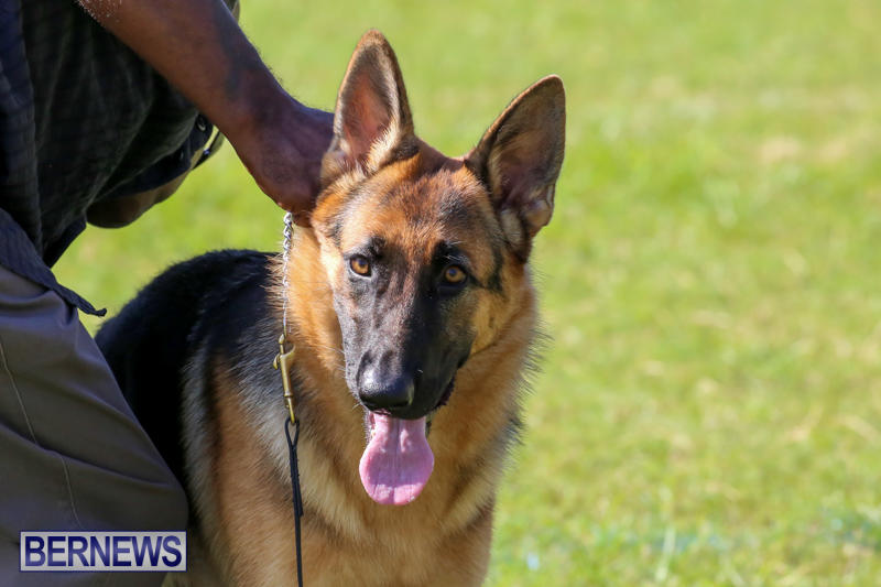 Dog-Show-Bermuda-October-24-2015-14