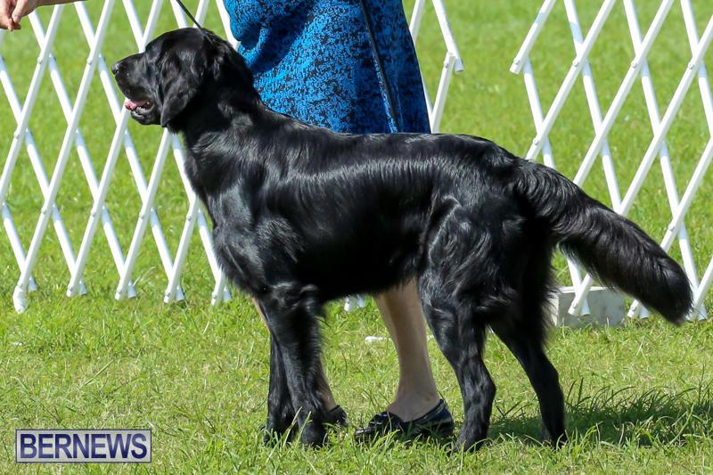 Dog-Show-Bermuda-October-24-2015-2