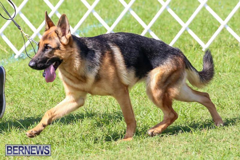Dog-Show-Bermuda-October-24-2015-21
