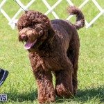 Dog Show Bermuda, October 24 2015-26