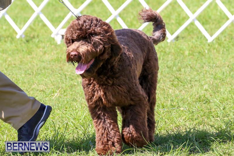 Dog-Show-Bermuda-October-24-2015-26