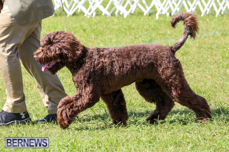 Dog-Show-Bermuda-October-24-2015-27