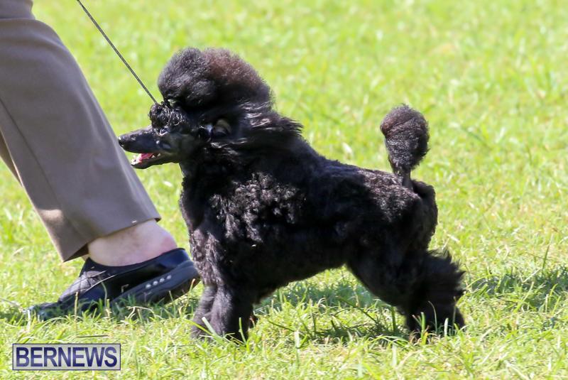 Dog-Show-Bermuda-October-24-2015-31