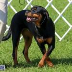 Dog Show Bermuda, October 24 2015-39