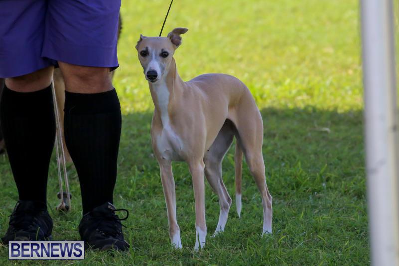 Dog-Show-Bermuda-October-24-2015-43