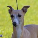 Dog Show Bermuda, October 24 2015-44