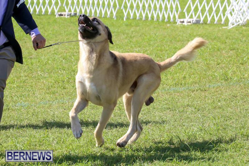 Dog-Show-Bermuda-October-24-2015-59