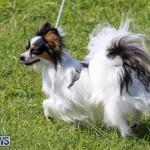 Dog Show Bermuda, October 24 2015-66