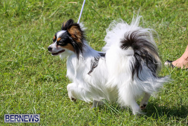 Dog-Show-Bermuda-October-24-2015-66