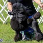 Dog Show Bermuda, October 24 2015-9