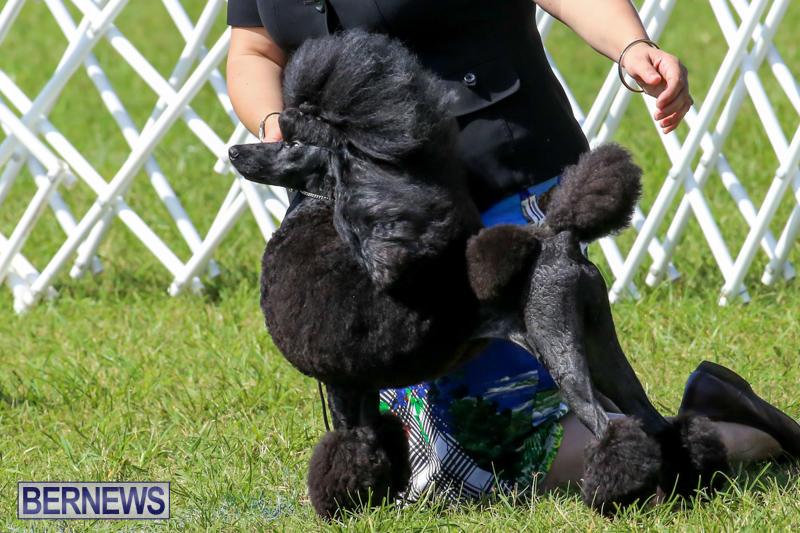 Dog-Show-Bermuda-October-24-2015-9