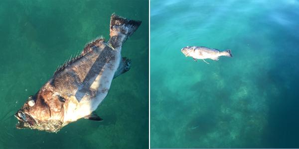 Fish Kill Investigation Bermuda October 2 2015 (1)