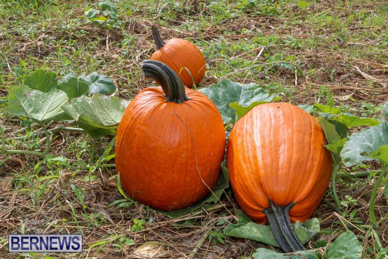 JJ-Produce-Pick-Your-Own-Pumpkins-Bermuda-October-23-2015-17