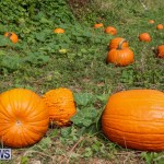 J&J Produce Pick Your Own Pumpkins Bermuda, October 23 2015-23