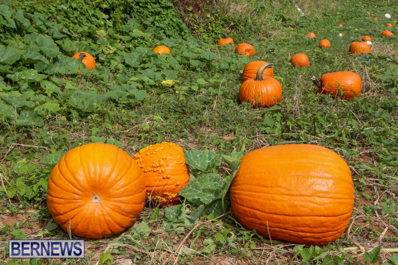 JJ-Produce-Pick-Your-Own-Pumpkins-Bermuda-October-23-2015-23