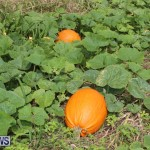 J&J Produce Pick Your Own Pumpkins Bermuda, October 23 2015-30