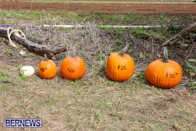 JJ-Produce-Pick-Your-Own-Pumpkins-Bermuda-October-23-2015-4