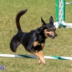 Dogs Agility Bermuda, November 7 2015-12