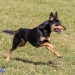 Dogs Agility Bermuda, November 7 2015-13