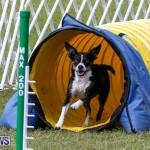 Dogs Agility Bermuda, November 7 2015-24