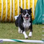 Dogs Agility Bermuda, November 7 2015-27