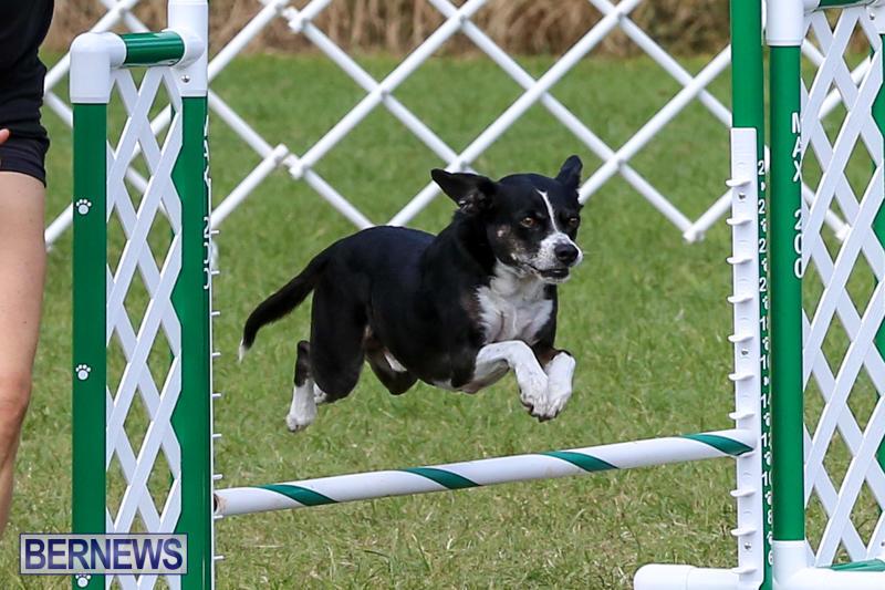 Dogs-Agility-Bermuda-November-7-2015-29