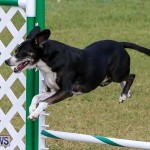 Dogs Agility Bermuda, November 7 2015-32