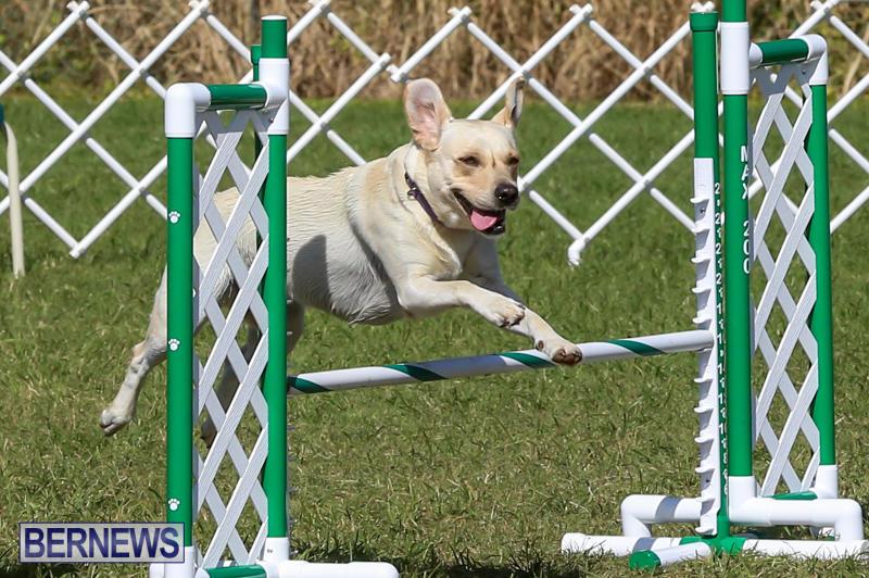Dogs-Agility-Bermuda-November-7-2015-4