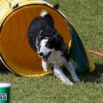 Dogs Agility Bermuda, November 7 2015-45