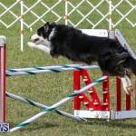 Dogs Agility Bermuda, November 7 2015-47