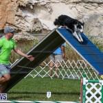 Dogs Agility Bermuda, November 7 2015-48