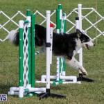 Dogs Agility Bermuda, November 7 2015-49