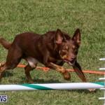 Dogs Agility Bermuda, November 7 2015-50