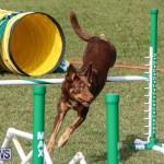 Dogs Agility Bermuda, November 7 2015-52