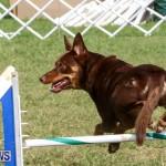 Dogs Agility Bermuda, November 7 2015-53
