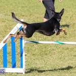 Dogs Agility Bermuda, November 7 2015-7